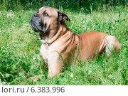 Купить «A close-up of a mastiff in a field», фото № 6383996, снято 10 декабря 2019 г. (c) Ingram Publishing / Фотобанк Лори