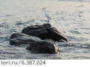 Купить «Egret on a rock in the sea, Sayulita, Nayarit, Mexico», фото № 6387024, снято 26 марта 2019 г. (c) Ingram Publishing / Фотобанк Лори