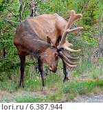 Купить «Elk (Cercus canadensis) in a forest, Jasper National Park, Alberta, Canada», фото № 6387944, снято 18 марта 2019 г. (c) Ingram Publishing / Фотобанк Лори