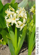 Желтый гиацинт (лат. Hyacinthus) Стоковое фото, фотограф Елена Коромыслова / Фотобанк Лори