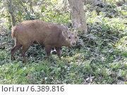 Hog deer. Стоковое фото, агентство Ingram Publishing / Фотобанк Лори