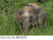 Купить «Borneo pygmy elephant with radio collar», фото № 6389872, снято 27 марта 2019 г. (c) Ingram Publishing / Фотобанк Лори