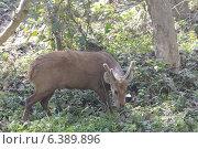 Hog deer feeding on shrubs. Стоковое фото, агентство Ingram Publishing / Фотобанк Лори