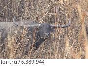 Купить «Wild buffalo with long horns in grass», фото № 6389944, снято 15 ноября 2019 г. (c) Ingram Publishing / Фотобанк Лори