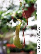 Купить «Хищное растение Непентес  / кувшиночник / Nepenthes», фото № 6390736, снято 9 сентября 2014 г. (c) Irina Opachevsky / Фотобанк Лори