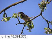 Купить «Воробей, сидящий на ветке цветущей яблони», фото № 6391376, снято 25 апреля 2014 г. (c) Татьяна Грин / Фотобанк Лори