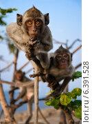 Три Макаки-резуса с обезьяньей горы Hin Lek Fai на рассвете. Стоковое фото, фотограф Борис Егоров / Фотобанк Лори
