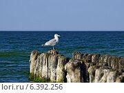 Купить «Чайка на волнорезе», фото № 6392256, снято 21 января 2014 г. (c) Сергей Трофименко / Фотобанк Лори