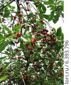 Ягоды вишни растущие на дереве. Стоковое фото, фотограф ангелина кочугуева / Фотобанк Лори