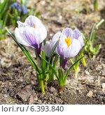 Купить «Крокусы (лат. Crocus)», эксклюзивное фото № 6393840, снято 17 апреля 2014 г. (c) Елена Коромыслова / Фотобанк Лори