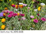 Купить «Садовые васильки (лат. Centaurea) в цветнике», эксклюзивное фото № 6399608, снято 23 июля 2014 г. (c) Елена Коромыслова / Фотобанк Лори