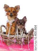 Собаки, две Чихуахуа в корзине. Стоковое фото, фотограф vansant natalia / Фотобанк Лори