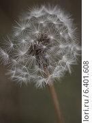 Пушистый цветок одуванчика. Стоковое фото, фотограф Сафонова Елена / Фотобанк Лори