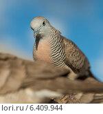 Купить «Close-up of pigeons, Waikiki, Diamond Head, Kapahulu, St. Louis, Honolulu, Oahu, Hawaii, USA», фото № 6409944, снято 4 февраля 2013 г. (c) Ingram Publishing / Фотобанк Лори