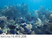 Купить «School of Blue Tang fish (Paracanthurus hepatus) swimming underwater, Utila, Bay Islands, Honduras», фото № 6410208, снято 1 января 2013 г. (c) Ingram Publishing / Фотобанк Лори