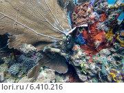 Купить «Underwater view of coral wall, Utila, Bay Islands, Honduras», фото № 6410216, снято 31 декабря 2012 г. (c) Ingram Publishing / Фотобанк Лори