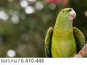Купить «Closeup of a YellowNaped Parrot (Amazona auropalliata), Macaw Mountain Bird Park, Copan, Copan Ruinas, Copan Department, Honduras», фото № 6410448, снято 3 января 2013 г. (c) Ingram Publishing / Фотобанк Лори