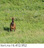Купить «Elk (Cervus canadensis) standing on grass, Lake Audy Campground, Riding Mountain National Park, Manitoba, Canada», фото № 6412952, снято 28 июля 2013 г. (c) Ingram Publishing / Фотобанк Лори