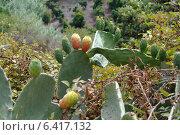 Заросли кактуса опунция. Стоковое фото, фотограф Сергей Шустов / Фотобанк Лори