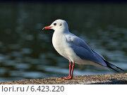 Купить «Портрет чайки в профиль», фото № 6423220, снято 21 января 2014 г. (c) Сергей Трофименко / Фотобанк Лори
