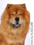 Портрет собаки породы Чао-Чао (Чау-чау) Стоковое фото, фотограф vansant natalia / Фотобанк Лори