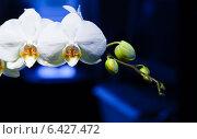 Купить «Белая орхидея», фото № 6427472, снято 30 мая 2011 г. (c) Сурикова Ирина / Фотобанк Лори
