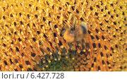 Купить «Шмель и подсолнух», видеоролик № 6427728, снято 25 августа 2014 г. (c) Юрий Пономарёв / Фотобанк Лори