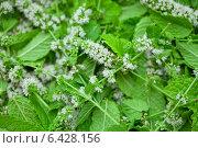 Купить «Цветы мяты и листья для чая», фото № 6428156, снято 6 августа 2014 г. (c) Сурикова Ирина / Фотобанк Лори