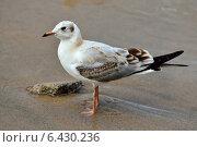 Купить «Чайка на пляже», фото № 6430236, снято 21 января 2014 г. (c) Сергей Трофименко / Фотобанк Лори