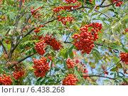 Купить «Красные ягоды рябины (лат. Sorbus aucuparia) на осенней ветке. Фокус на передней ветке», эксклюзивное фото № 6438268, снято 24 сентября 2014 г. (c) Svet / Фотобанк Лори