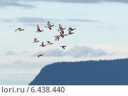 Купить «Свиязь, Anas penelope, Eurasian Wigeon», фото № 6438440, снято 17 июня 2014 г. (c) Василий Вишневский / Фотобанк Лори