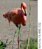 Розовый фламинго (2014 год). Стоковое фото, фотограф Дмитрий Богословский / Фотобанк Лори