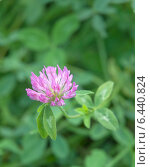 Купить «Клевер луговой, розовый цветок на фоне травы (Trifolium pratense)», эксклюзивное фото № 6440824, снято 22 сентября 2014 г. (c) Svet / Фотобанк Лори