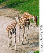 Купить «Семья жирафов», фото № 6442116, снято 9 сентября 2014 г. (c) Наталья Волкова / Фотобанк Лори
