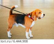 Собака породы бигль. Стоковое фото, фотограф g.bruev / Фотобанк Лори