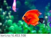 Дискус.Красный в аквариуме. Стоковое фото, фотограф Альховик Людмила / Фотобанк Лори