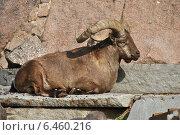 Купить «Дагестанский тур (лат. Capra caucasica cylindricornis) в зоопарке», эксклюзивное фото № 6460216, снято 26 сентября 2014 г. (c) lana1501 / Фотобанк Лори