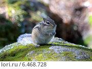 Купить «Азиатский, сибирский бурундук сидит на камне», фото № 6468728, снято 16 мая 2014 г. (c) Григорий Писоцкий / Фотобанк Лори