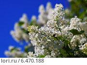 Купить «White lilac against blue sky», фото № 6470188, снято 17 мая 2012 г. (c) Яков Филимонов / Фотобанк Лори