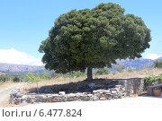 Дуб каменный (лат. Quercus ílex)— вечнозелёное дерево. Стоковое фото, фотограф Алексей Гусев / Фотобанк Лори