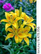 Купить «Желтая азиатская лилия в каплях дождя», фото № 6478956, снято 21 июля 2013 г. (c) Ольга Сейфутдинова / Фотобанк Лори