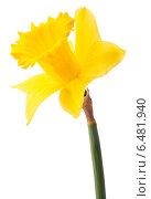 Купить «Daffodil flower or narcissus isolated on white background cutout», фото № 6481940, снято 9 мая 2013 г. (c) Natalja Stotika / Фотобанк Лори