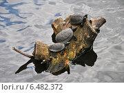Купить «Черепахи греются на солнышке», эксклюзивное фото № 6482372, снято 28 августа 2014 г. (c) lana1501 / Фотобанк Лори