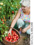 Купить «Женщина в огороде собирает помидоры», фото № 6486648, снято 6 августа 2010 г. (c) Александр Романов / Фотобанк Лори