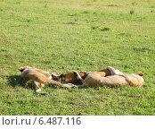 Львы на отдыхе африканская саванна Кения национальный парк Масаи-мара (2010 год). Стоковое фото, фотограф masebora / Фотобанк Лори