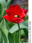 Купить «Красный тюльпан (лат. Tulipa) в капельках дождя», эксклюзивное фото № 6493160, снято 13 мая 2014 г. (c) Елена Коромыслова / Фотобанк Лори