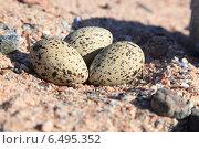 Купить «Кулик-сорока, Haematopus ostralegus, Eurasian Oystercatcher», фото № 6495352, снято 25 мая 2014 г. (c) Василий Вишневский / Фотобанк Лори