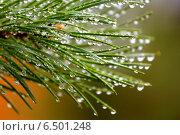 Купить «Капли дождя на сосновых иголках», фото № 6501248, снято 21 июля 2013 г. (c) Владимир Ходатаев / Фотобанк Лори