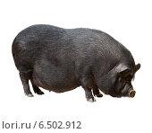 Купить «Black farm pig over white background», фото № 6502912, снято 23 марта 2014 г. (c) Яков Филимонов / Фотобанк Лори