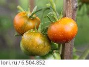 Гроздь незрелых помидоров. Стоковое фото, фотограф Buyanka / Фотобанк Лори